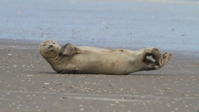 FWC biologists respond after rare harbor seal spotted on Florida beach