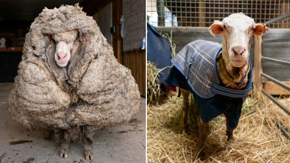 Rescuers save abandoned sheep, shave off 78 pounds of matted wool