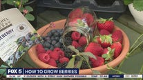 Tips for growing berries at home