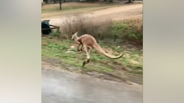 Kangaroo on the loose in Alabama after escape from trailer