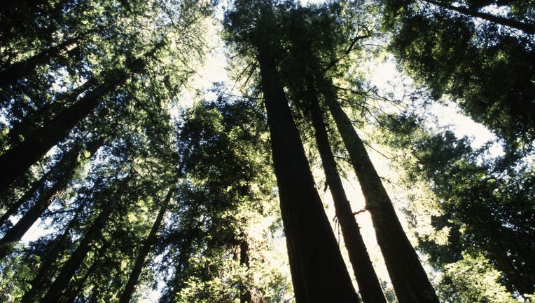 Majestic Redwood Forest