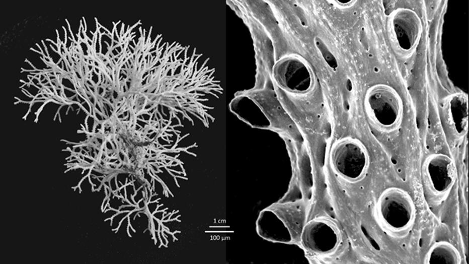WoRMS-Top-Ten-2020-Hornera-mediterranea.png