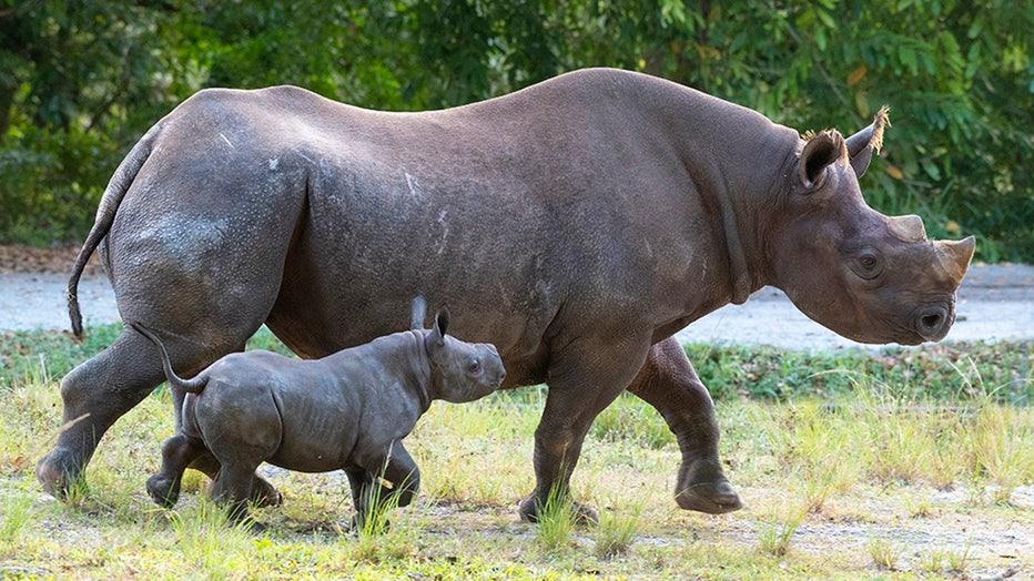 zoo-miami-baby-rhino-5.jpg