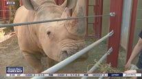 Zoo Atlanta's Mumbles the rhino greets guests