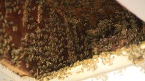 Hundreds of thousands of bees invade Georgia home... again!