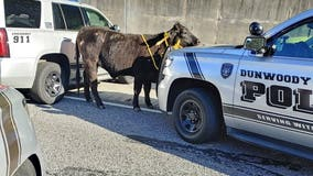 Cow blocks westbound lanes on I-285 in DeKalb, officials say