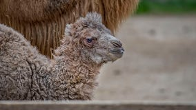 Bactrian camel born at the Milwaukee County Zoo is named Oliver!