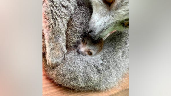 Endangered crowned lemur baby born at Zoo Atlanta