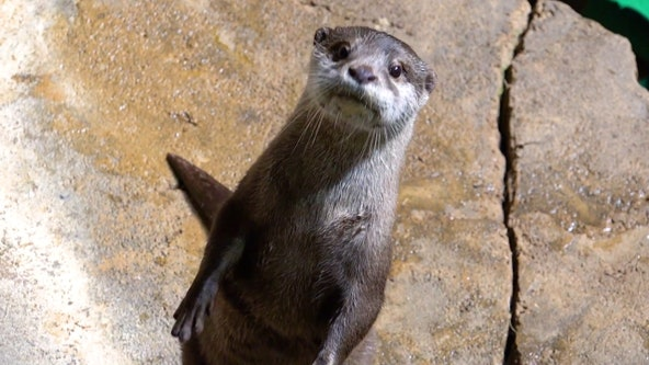 Expert: Otters, others closely related to minks are more susceptible to virus that causes COVID-19