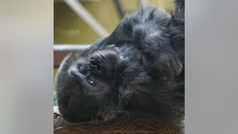 Western lowland gorilla Machi (Credit: Tennessee Trails Photography).