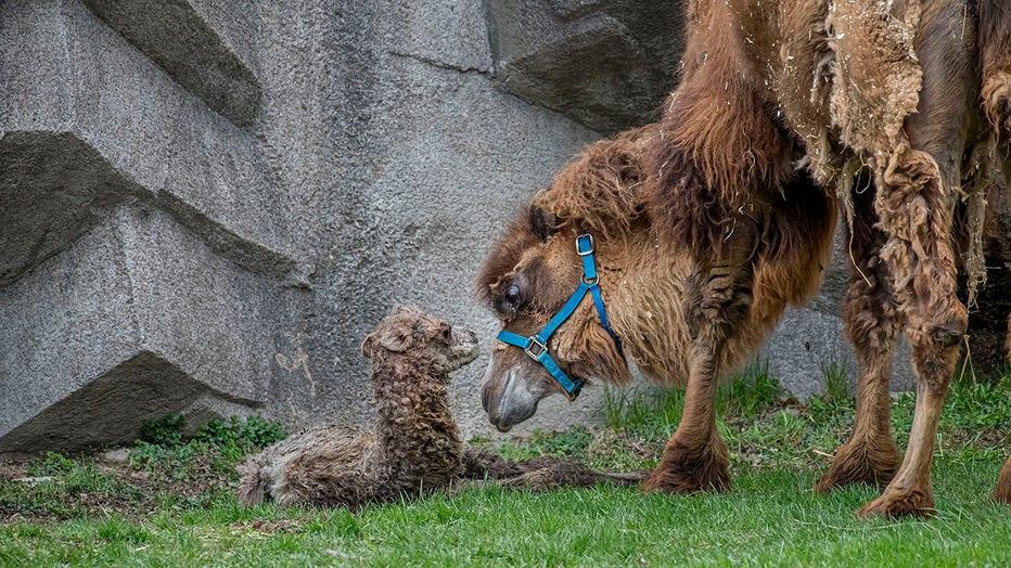 Camel-Baby-04-2021-0106959-E-1.jpg