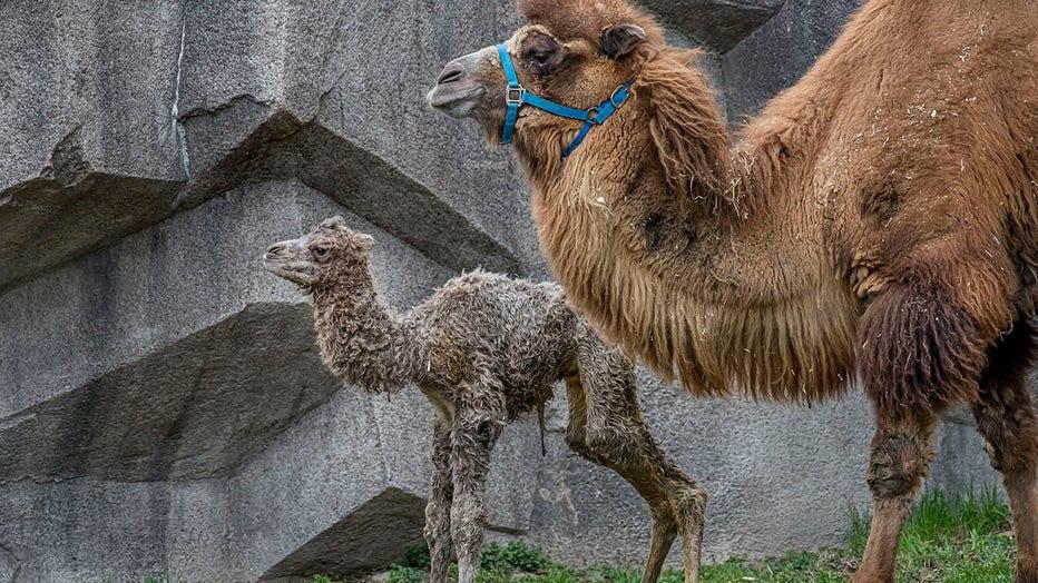 Camel-Baby-04-2021-0107016-E.jpg