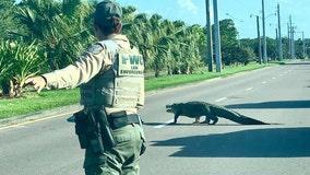 Alligator causes traffic jam on Florida road
