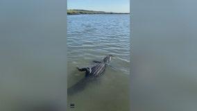 'Surprise, surprise': Fisherman catches alligator in SC saltwater marsh