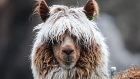 Man fraudulently obtained federal coronavirus relief funds to buy alpaca farm, prosecutors say