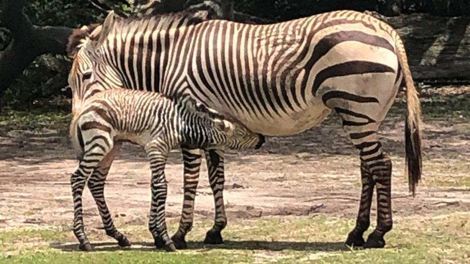 04998e84-zebra2.jpeg