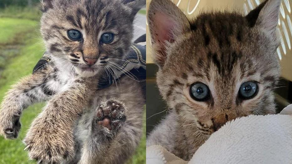 BIG-CAT-RESCUE-bobcat-brevard-county-052021.jpg