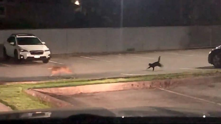 Cat chases coyote out of parking lot