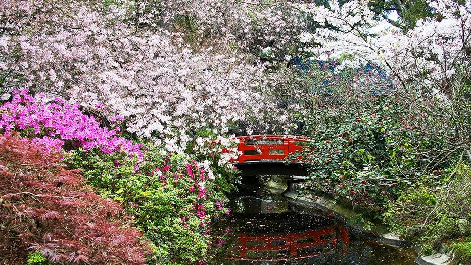 Cherry-blossoms-Descanso-Gardens.jpg