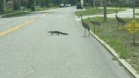 Video: Alligator crosses street trying to escape flock of cranes