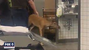 Deer charges into a Publix, sending customers running for cover