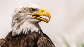 Bald eagle kills 54 lambs on Idaho farm, owner says