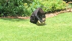 'Crazy, really crazy': Black bear spotted inside Sandy Springs city limits