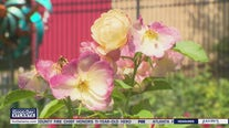 Tips for taking care of summer roses