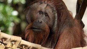 Zoo Atlanta uses implantable device to study orangutan's heart