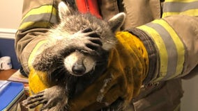 Georgia firefighters help 'embarrassed' raccoon out of a jam