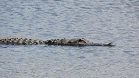 Alligator attacks, kills woman's dog in Winter Garden, officials say