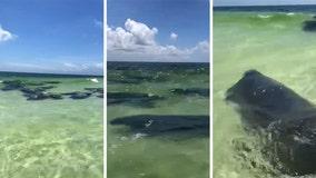 Herd of manatees swims close to shore at Miramar Beach in Florida