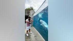 Beluga whales dance to violinist's serenade at Connecticut aquarium