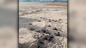 Sea turtle hatchlings scurry across North Carolina beach on their way to the ocean