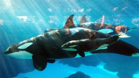 Killer whale at SeaWorld San Diego dies unexpectedly