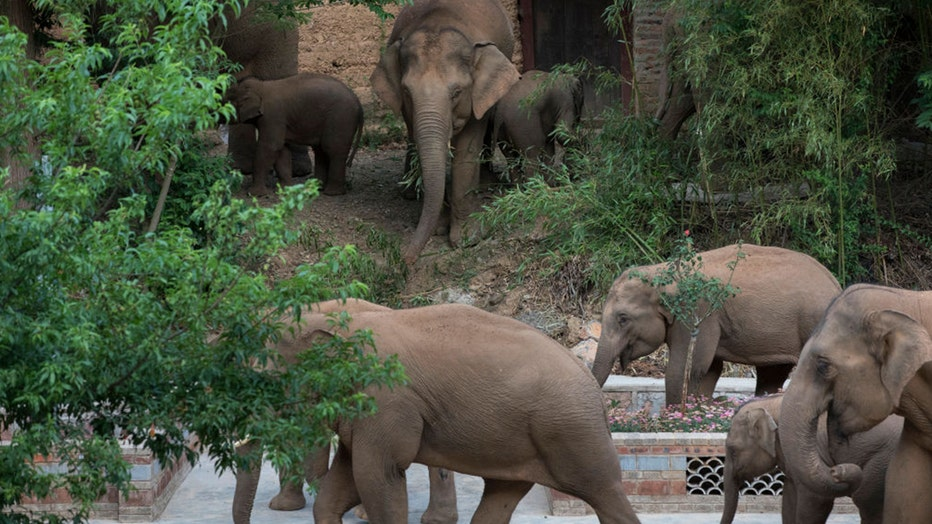 China elephant herd