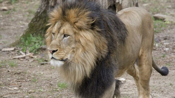 National Zoo lions, tigers test 'presumptive positive' for COVID-19