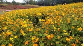 'Wild' fall colors bloom at Ball Ground's Gibbs Gardens