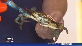 Crab season underway in Maryland