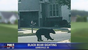 Black bear sighting in Prince William County neighborhood