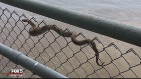 Copperhead snake spotted at East Potomac Park in DC