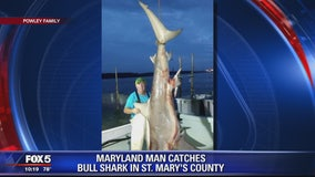 310-pound bull shark caught in Maryland