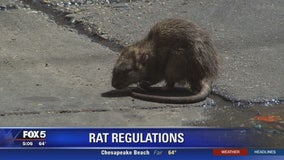 To help curb rat problem, DC considering cracking down on businesses