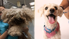 'Horribly ignored': Neglected poodle with pounds of matted fur hid under bed for 2 years