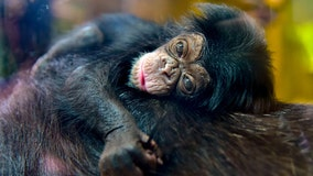 Help the Maryland Zoo name its newest chimp