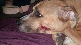 Machete-wielding robbers cut dogs face after she tried to stop them from stealing puppies