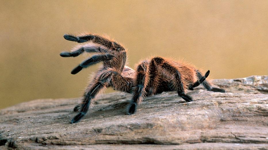 FILE: Chilean rose tarantula, Grammostola rosea, species often kept as pet.