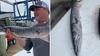 Fisherman catches rare barracuda near Ocean City coast
