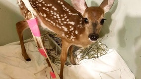Lovable baby deer gets bright pink cast after being hit by car