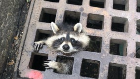 'We rescue citizens both big and small': Firefighters free raccoon's head from grate